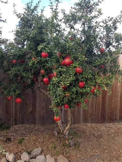 Planting Fruit Trees In Backyard by Our Small Pomegranate Tree Is Loaded With Big Fruit This