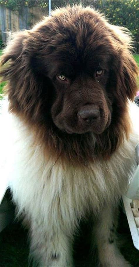 short haired newfoundland dogs short haired newfoundland mix dogs short haired