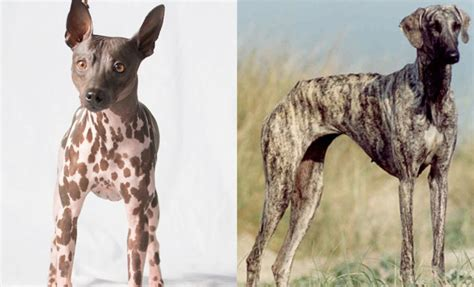 american kennel club breeds american kennel club recognizes two new breeds macleans ca