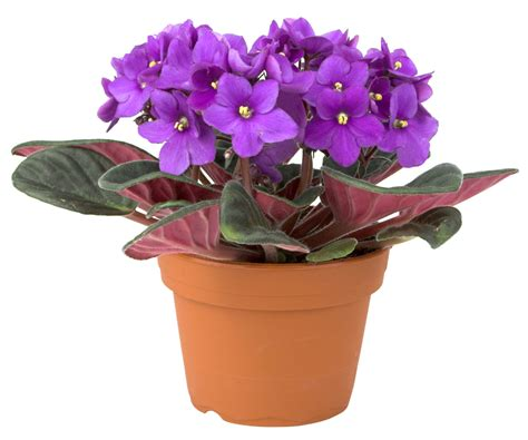 Buy African Violet Plant Online   Free Shipping Over $99.99