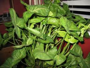 house plant types syngonium a k a nephthytis white veined arrowhead vine cool house plants pinterest