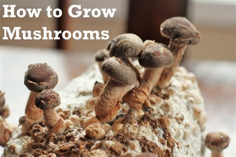 how to grow shiitake mushrooms at home one hundred