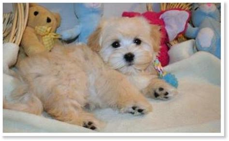 apricot havanese the of havanese colors by cornerstone