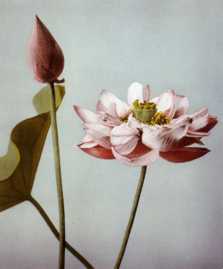 fiore di loto giapponese ogawa kazumasa fiori di loto 1890 ca artribune