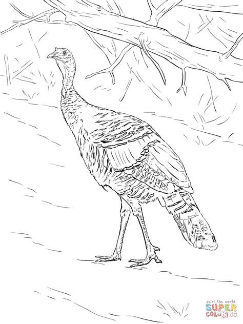 coloring page wild turkey wild turkey walks in the forest coloring page