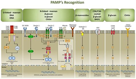 pattern recognition receptor lectin signaling pathways in fungal pathogen associated molecular
