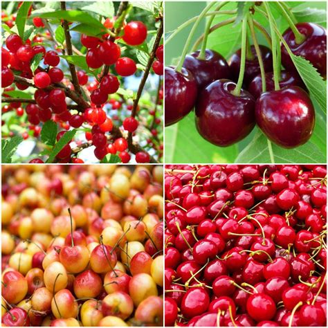 4 in 1 cherry tree home depot orchards 4 in 1 cherry jubilee tree cbch004 the home depot