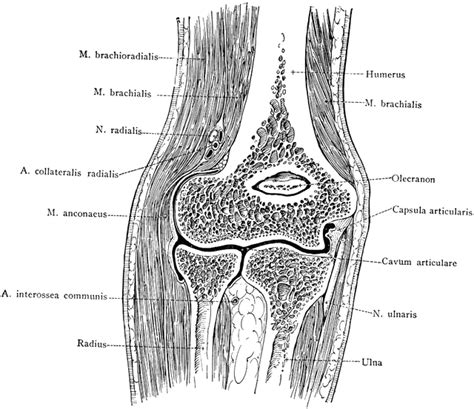 what are the divisions of the surgery section based on frontal section through the elbow clipart etc