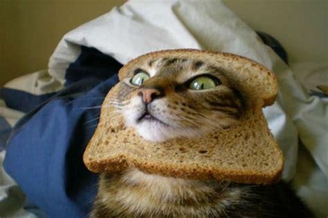 Cat In Bread Meme - gatti sandwich la moda pi 249 stramba del web