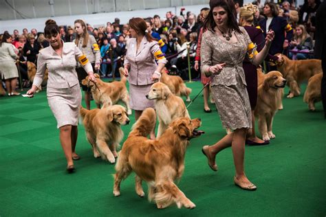 westminster golden retriever dogs take the stage at the 138th westminster kennel club show