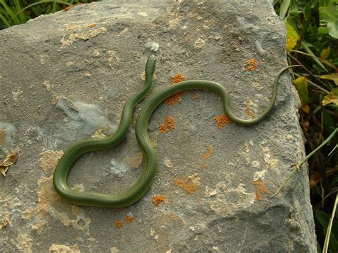 Garden Snake With Yellow Stripe Utah Reptile And Hibian Information