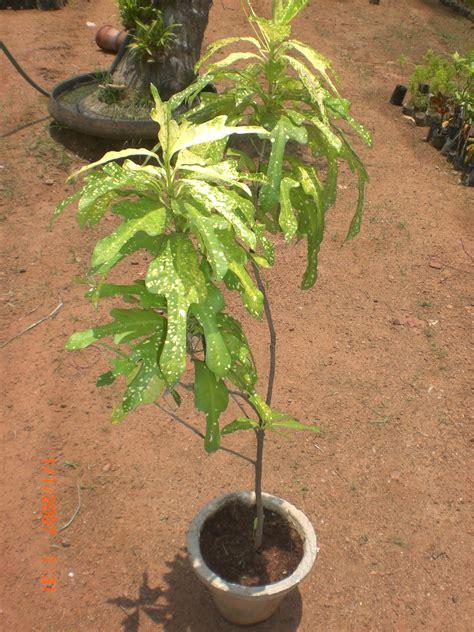 variety  plants croton plants buy plants  chennai