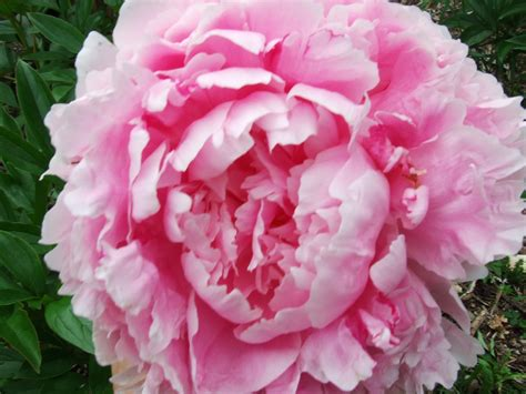 pink peonies and other flowers from long ago new england fresh cut peony bloom june 2009 cut peony flowers from