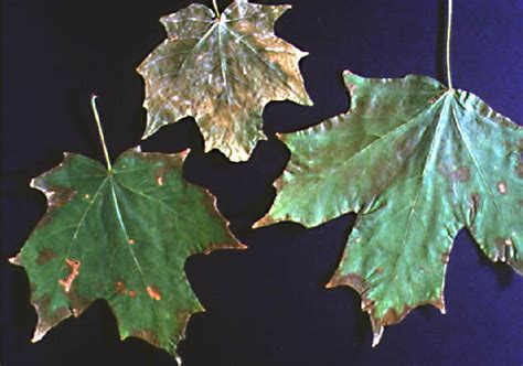 maple tree wilting leaves diseases of deciduous trees maple verticillium wilt