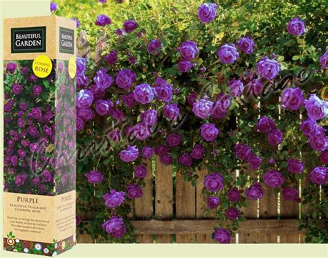 planting climbing roses 1 fragrant climbing bush bare rooted plant shrub