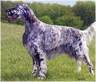 french setter dog breed english setter dog breed facts and traits hill s pet
