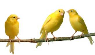 Canary by Canary Informations Pictures