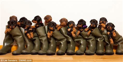 selling puppies at 6 weeks the doberman said by vets to be with six pups stuns owner by giving