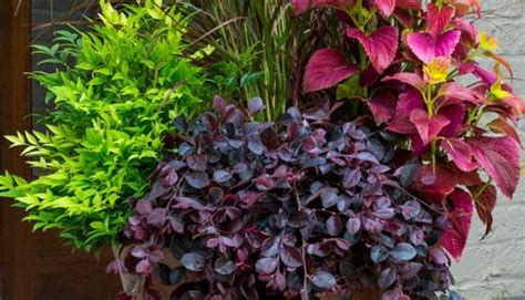 combine southern living plant collection nandinas