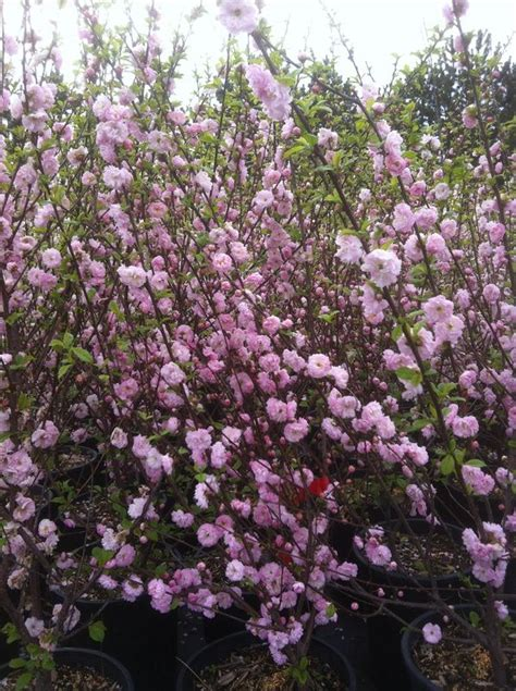 early pink flowering shrubs 17 best ideas about trees with pink flowers on