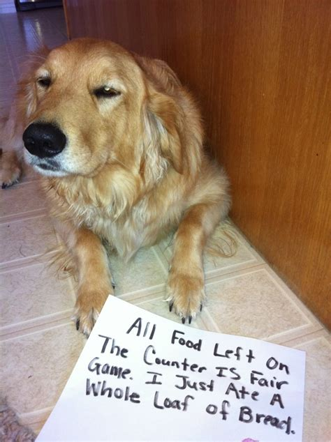 my golden retriever ate chocolate golden shaming on shaming dogs and cooper