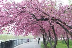 Japanese Blossom Tree japanese cherry tree sakura images sakura wallpaper