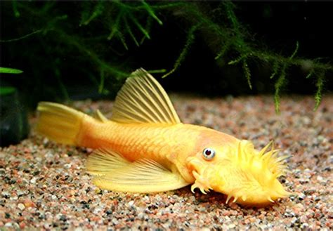 Fish L by Ancistrus Sp L144 Black Eyed Yellow Bristlenose