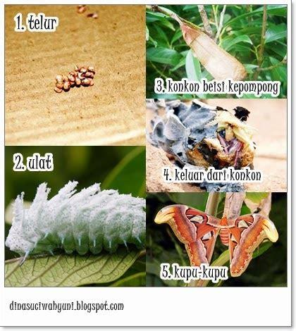Atlas Daur Hidup Parasitologi Kedokteran attacus atlas kupu kupu jenis ngengat terbesar di dunia jdsk