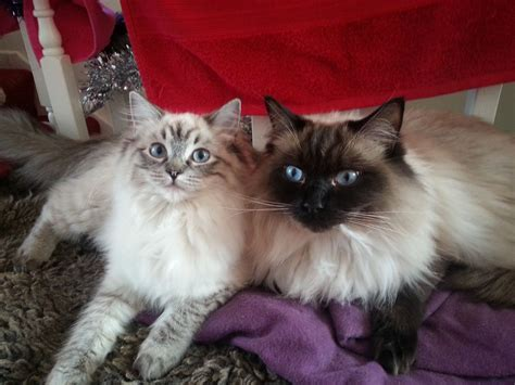 2 ragdoll cats 2 ragdoll cats durham county durham pets4homes