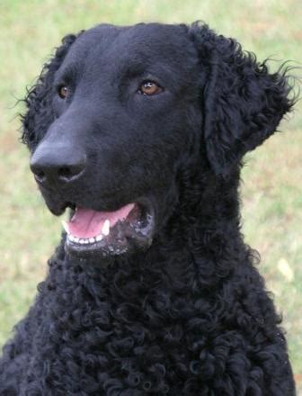 Curly Coated Retriever Breed Information: History, Health ...