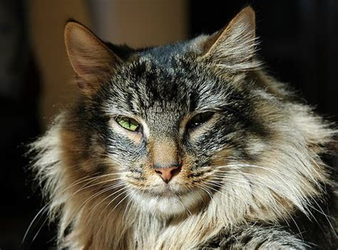 google images cats norwegian forest cat 6 picturesofcatsorg