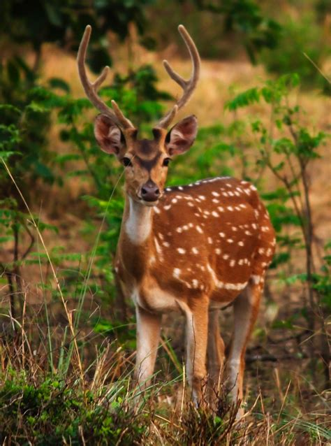 the spotted the spotted deer chital by bhavesh p on deviantart