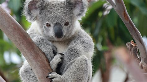 wallpaper iphone koala koala full hd wallpaper and background image 1920x1080