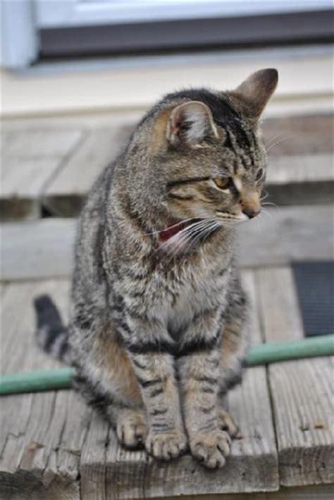 Grey Tiger Cat   www.pixshark.com   Images Galleries With