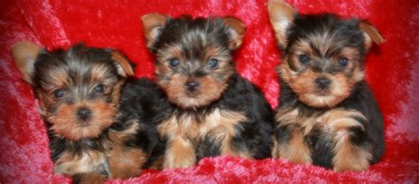 california yorkie breeders sweet yorkie kisses yorkie puppies for sale california teacup yorkie puppies
