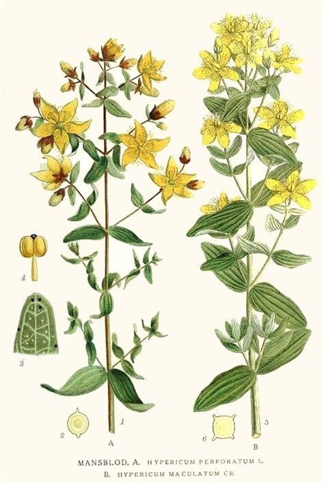 fiori da giardino perenni foto iperico foto piante perenni iperico foto giardino