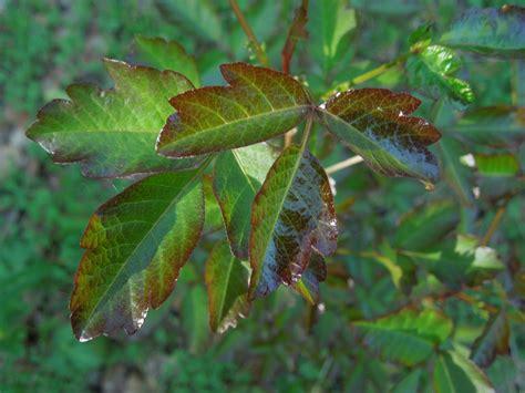 peachy hiker poison oak besides preventing rashes