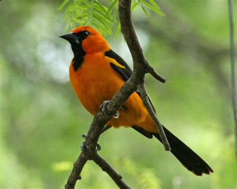 altamira oriole at birding birds bird opedia
