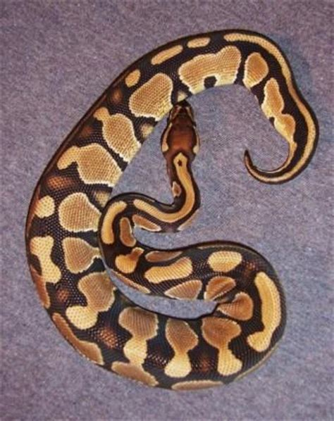 reduced pattern pastel ball python dinker projects
