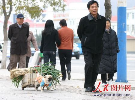pugs in china puppy transports vegetables
