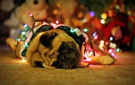 pug wallpaper screensaver background christmas pug cute animals pinterest christmas