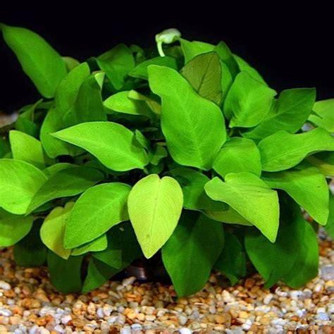 aquascape plants for sale 17 best images about aquascape plants on pinterest fish