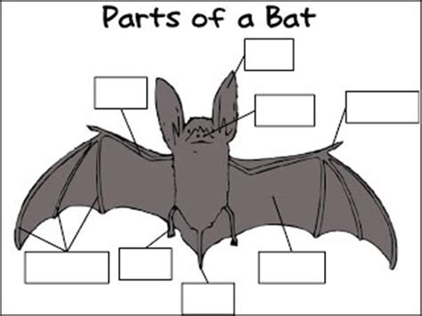 labelled diagram of a bat bats and owls labeling activity education bats