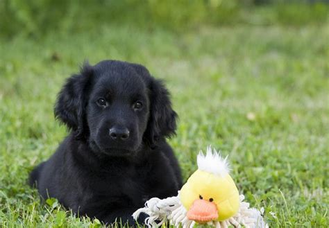 flat coat retriever puppies for sale flat coated retriever puppies for sale akc puppyfinder