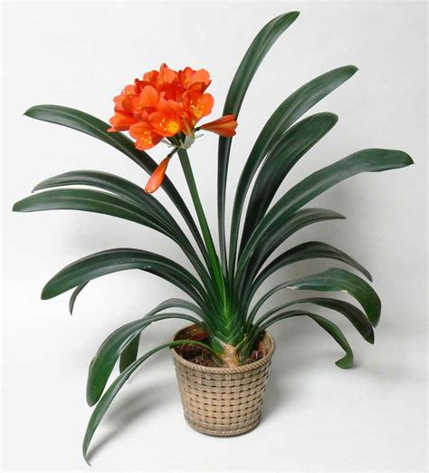 indoor flowers top 15 indoor flowering plants livinghours