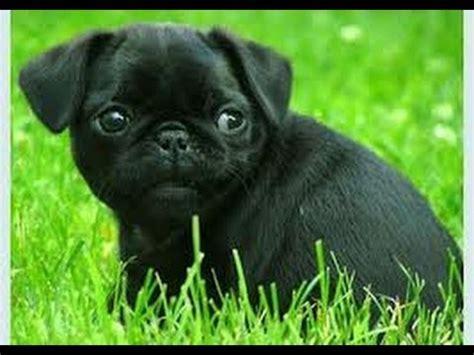 pugs rescue blind pug rescue m13