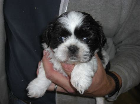 shih tzu puppies mn puppies for sale shih tzu shih tzus f category in duluth minnesota