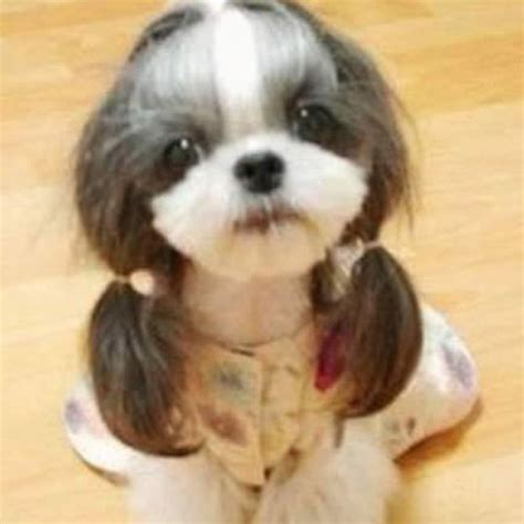 dog haircuts gone wrong 9 hilarious dog haircuts funcage