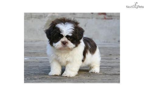 shih tzu puppies louisiana shih tzu puppy for sale near louisiana 9957a1a2 ae61