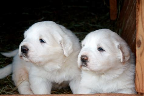 free great pyrenees puppies two great pyrenees puppies wallpapers and images wallpapers pictures photos
